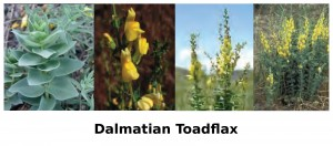 dalmatian toadflax