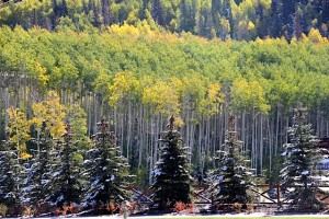 Aspen and Snow pines